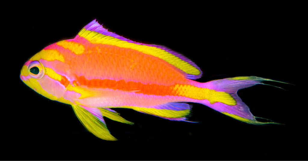 Adult male Tosanoides annepatrice alive in an aquarium, collected in Pohnpei. Photograph by Luis A. Rocha. CC BY 4.0