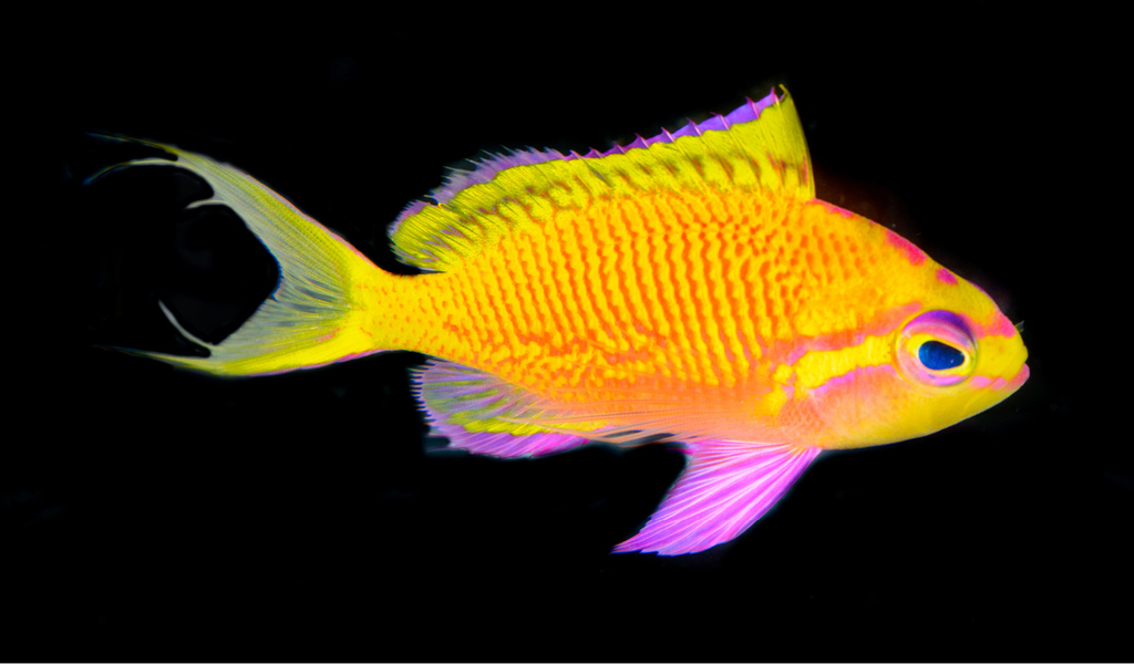 Adult female Tosanoides annepatrice alive in an aquarium, collected in Pohnpei. Photograph by Luiz A. Rocha. CC BY 4.0