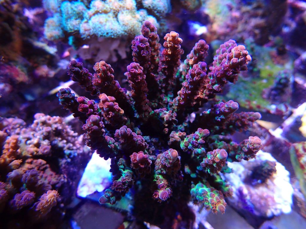 Approximately 2.5 years of age, this Acropora digitifera has grown into an impressive and vibrantly colored colony.