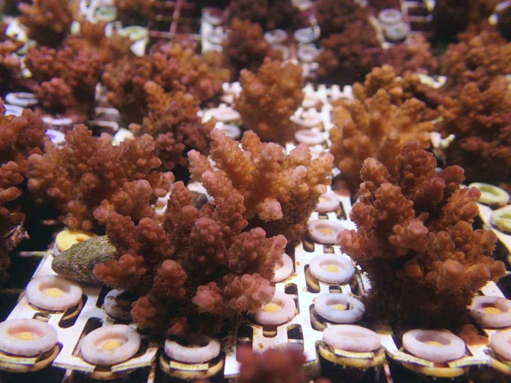 These are the same Acropora digitifera, now 14 months of age, photographed October, 2016.
