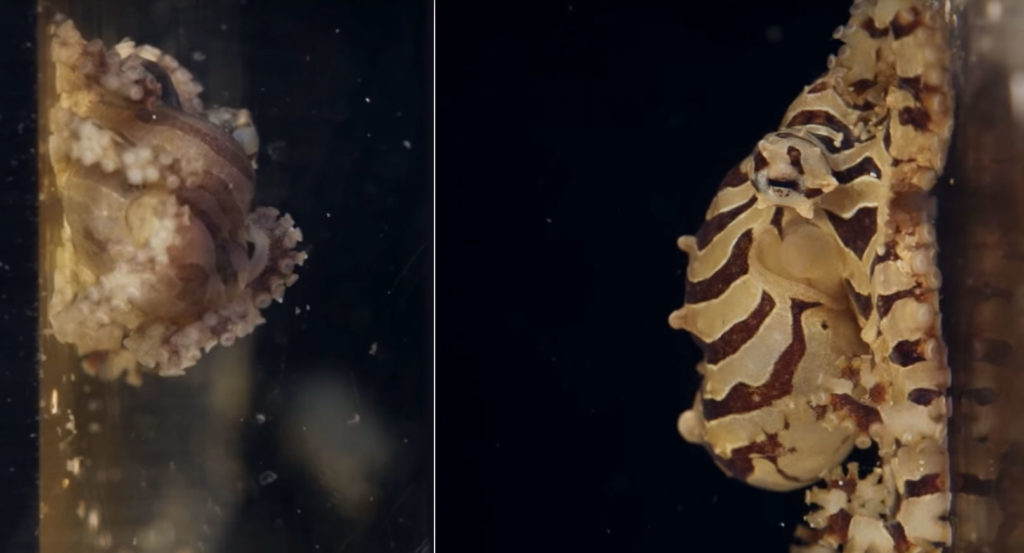 To a prospective breeder's delight, male (left) and female Octopus chierchiae are incredibly easy to differentiate; the secret is in the tentacles. You'll have to watch the film to find out how to sex this adorable little octopus.