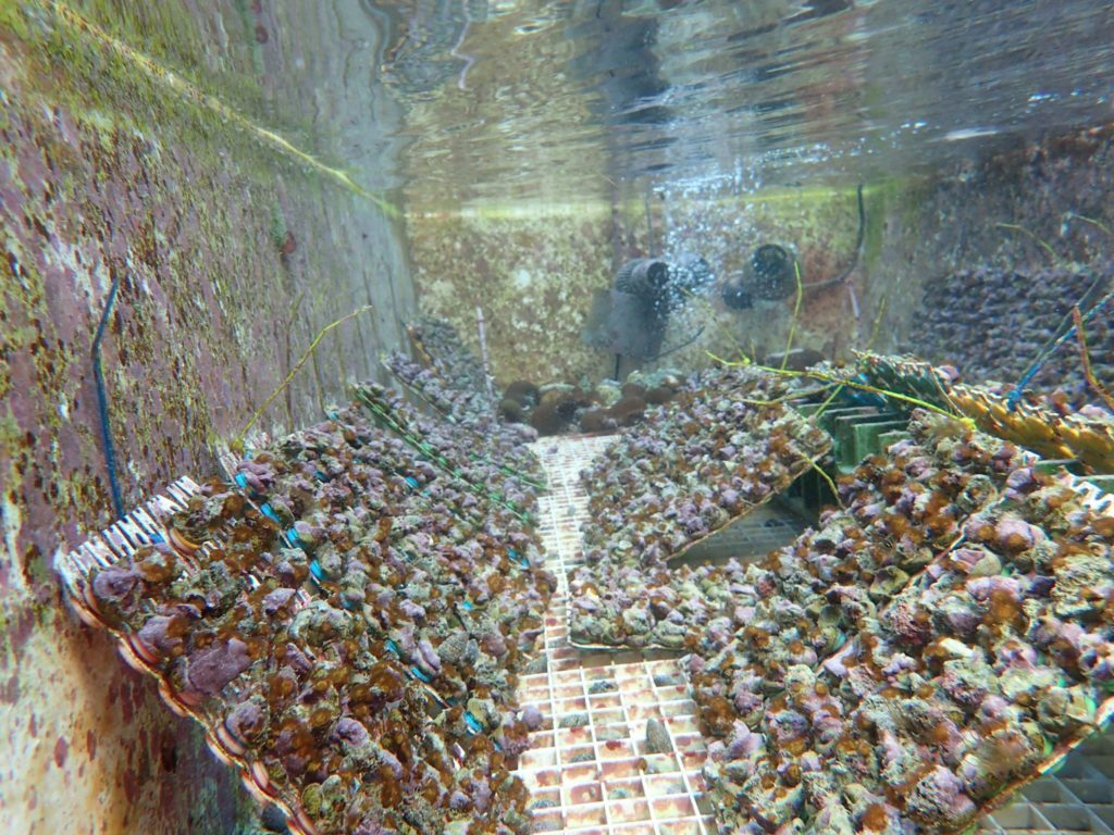 Hundreds or even thousands of baby Acorpora digitifera in a rearing tank located in Guam, circa 2016, demonstrate the power of coral fecundity when sexually propagated.