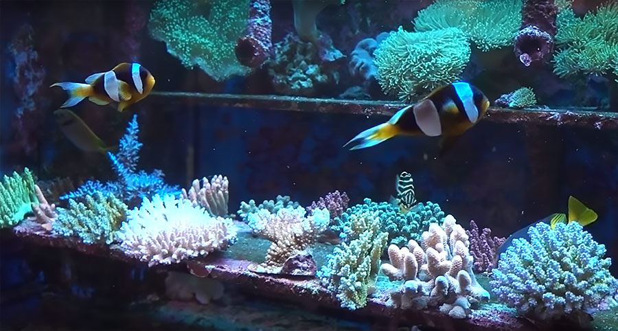 "A pair of the very rare ""White Margin"" form of Madagascar's Latifasciatus Clownfish, Amphiprion latifasciatus, hover over racks of impressive Acropora offerings in a dealer's aquariums in Hong Kong."