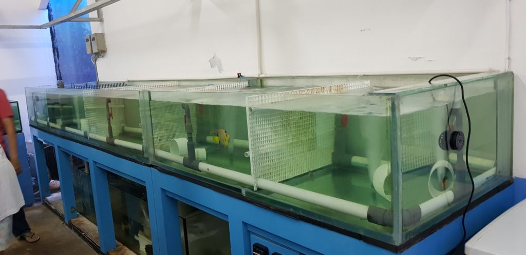 A lone Queen Angelfish remains in these tanks at an Indonesian marine livestock, where governmental infighting has effectively banned the export of all corals, wild or farmed, for most of 2018. Image credit: OFI