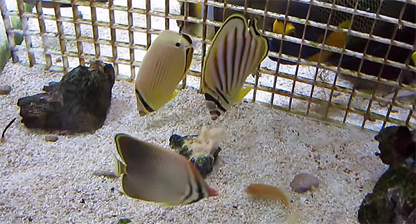 "Three corallivorous butterflyfishes, all eating in captivity, effectively shattering the notion of what is ""impossible"". Screencapture from Peter Leung."