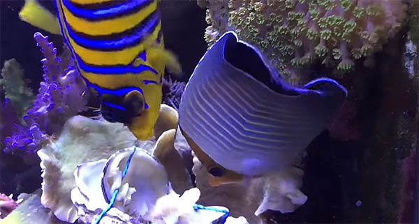 The corallivorous Hooded Buttereflyfish (Chaetodon larvatus) is joined by a Regal Angelfish (Pygoplites diacanthus), eagerly devouring a live clam placed in the reef aquarium of Dutch author Tanne Hoff.