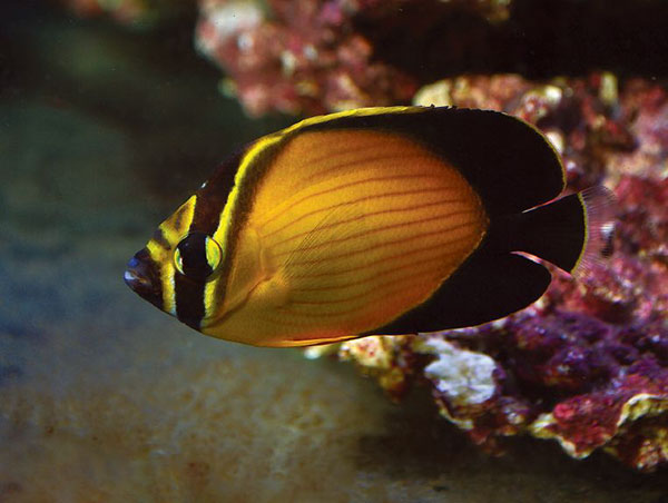 Mainly collected from the Red Sea, the Arabian Butterflyfish an expensive purchase, but may receive better care in the chain of custody due to its higher price tag.
