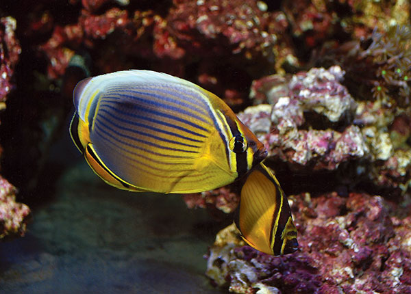 The author's longest-running successes to date: an unlikely pairing of a Melon Butterflyfish (C. trifasciatus) with an smaller Arabian Butterflyfish (C. melapterus) which are now around the two-year mark in captivity.