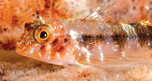 Enneanectes flavus, a new endemic species of triplefin blenny from the southeastern Caribbean. This specimen in Tobago. Image Credit: P. H. Humann.