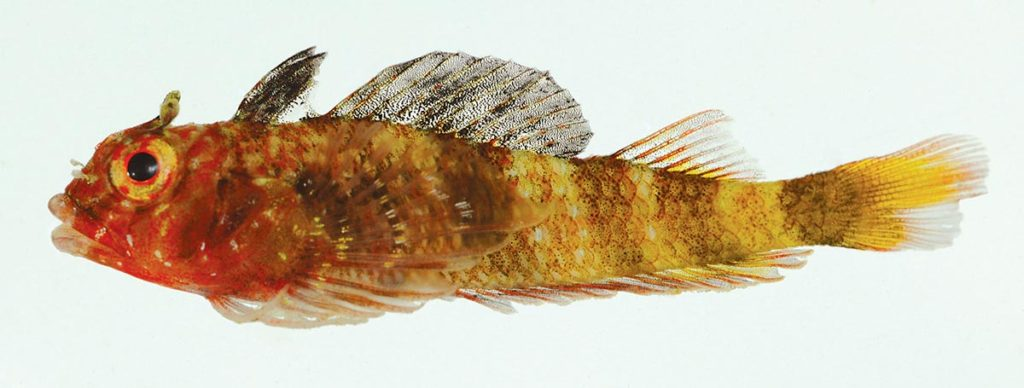 "The holotype of the new species Enneanectes flavus, approximately 1"" long (23.0 mm SL), mature male collected in Los Testigos, Venezuela. Image credit: J.L. Van"