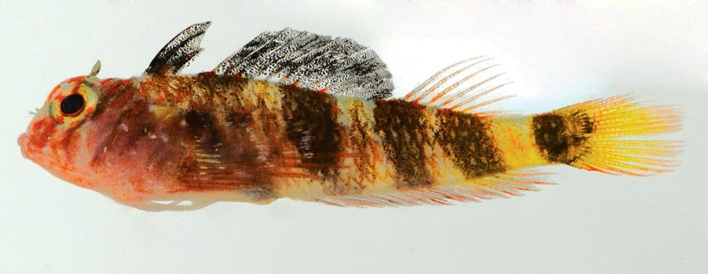 A male paratype of the Yellowtail Triplefin, Enneanectes flavus, this one collected in Los Frailes, Venezuela. It's easy to understand how the Triplefins earned their name, with the three dorsal fins clearly on display in this example. Image credit: J.L. Van Tassell & D.R. Robertson.