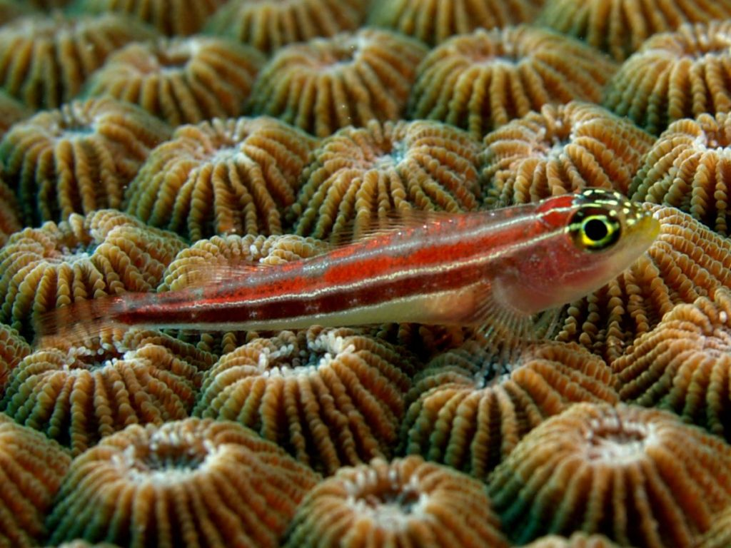 Helcogramma striata, the Neon Triplefin, resting on Diploastrea heliopora. Image credit: Nick Hobgood, CC BY-SA 3.0