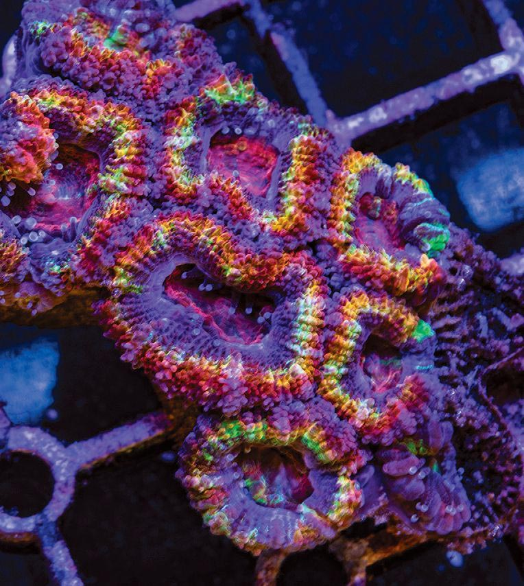 Micromussa lordhowensis displays a seemingly endless diversity of color and pattern.