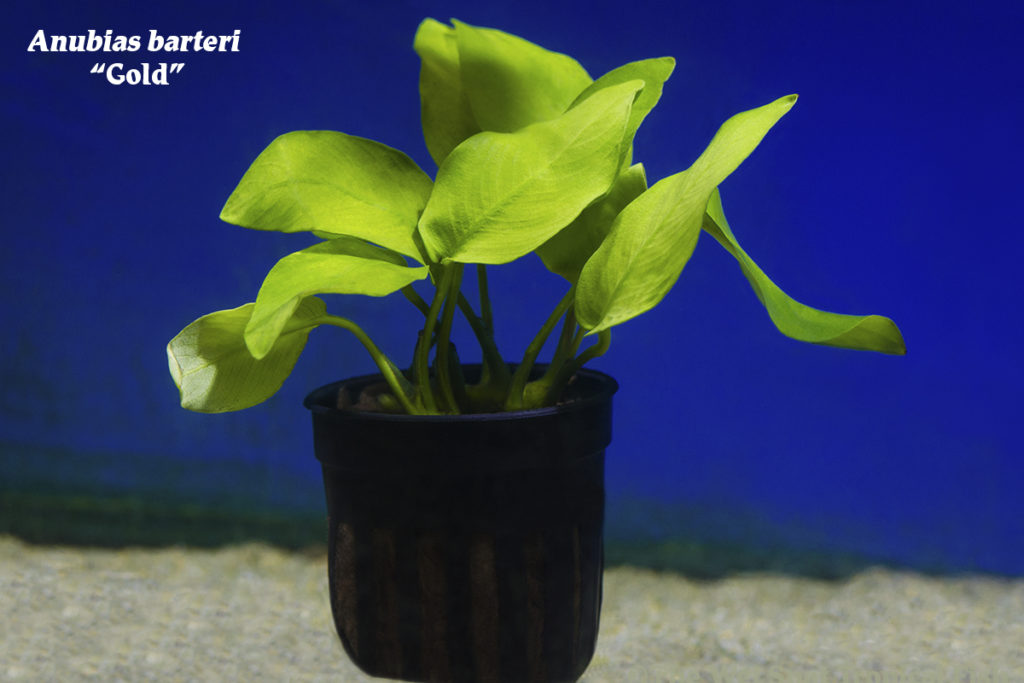 "Anubias barteri ""Gold"", perfect for beginner and veteran aquarists alike!"