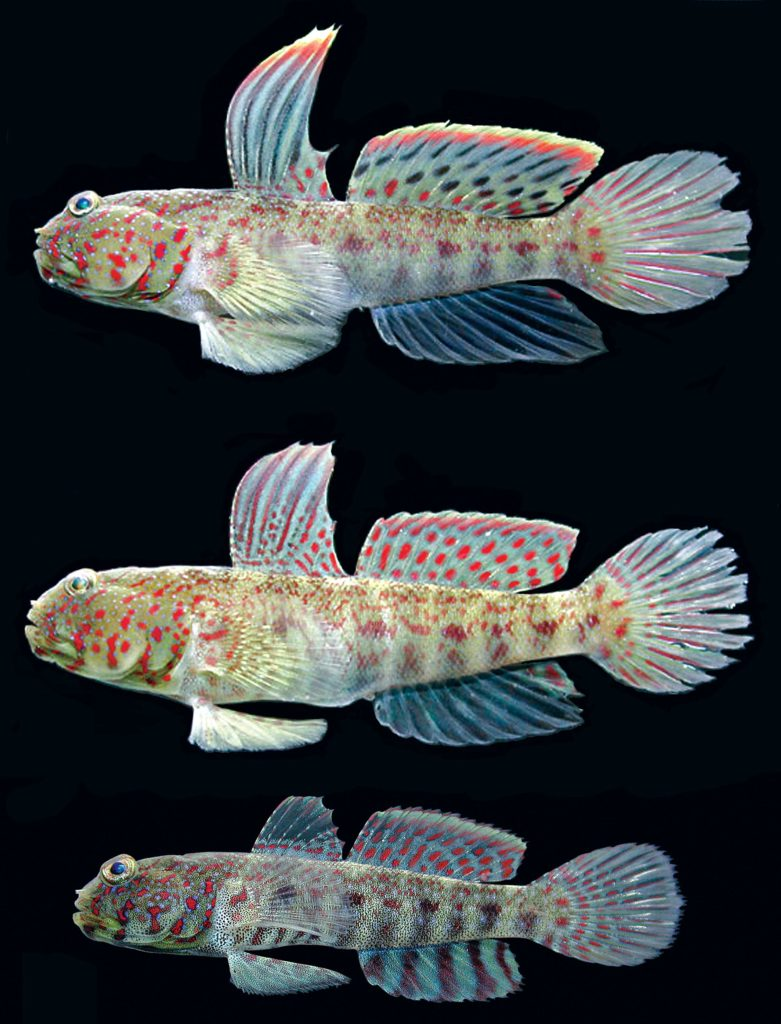 The new Highfin Shrimpgoby, Cryptocentrus altipinna, is introduced with the male holotype (top), female and juvenile paratypes (middle and bottom), all from Libong Island, Thailand Image credit: Koichi Shibukawa; CC BY 4.0