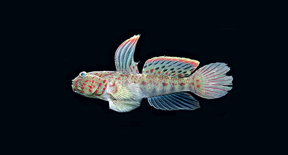 Meet the newest Cryptocentrus Shrimpgoby Species