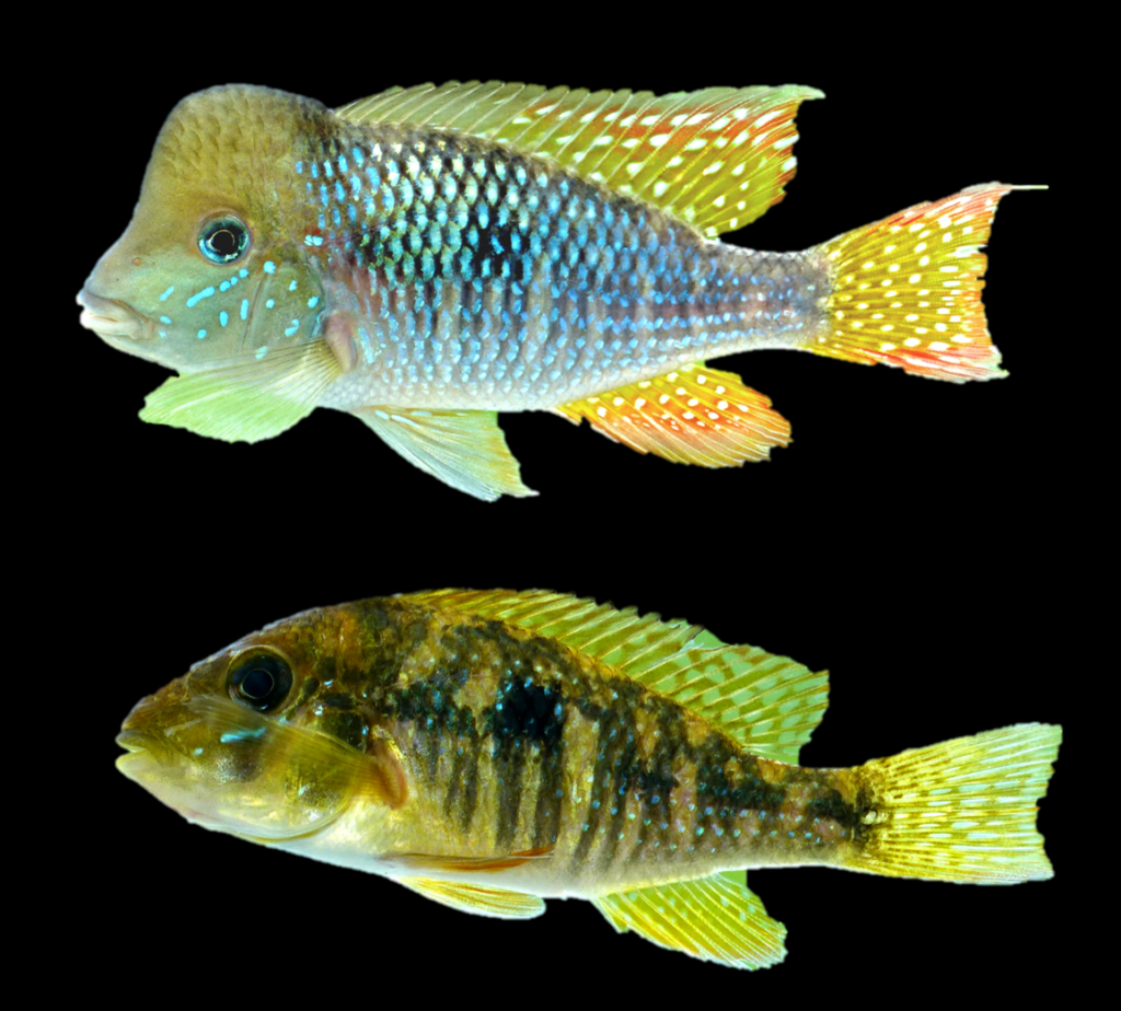 A stunning pair of Gymnogeophagus jaryi sp. nov collected in the Southern tributaries of the Middle Paraná basin in Misiones, Argentina. Image credit: Alonso et. al, 2019