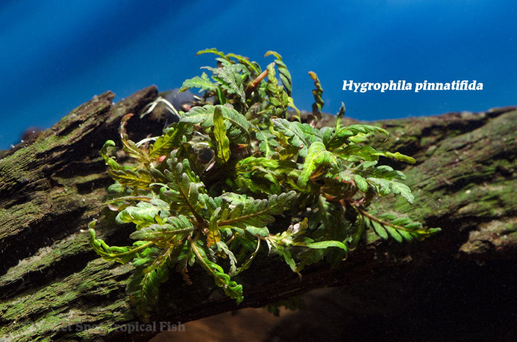 "Should aquarists consider the ""Miramar Weed"", Hygrophila pinnatifida, as an overlooked ""fish-proof"" aquatic plant?"