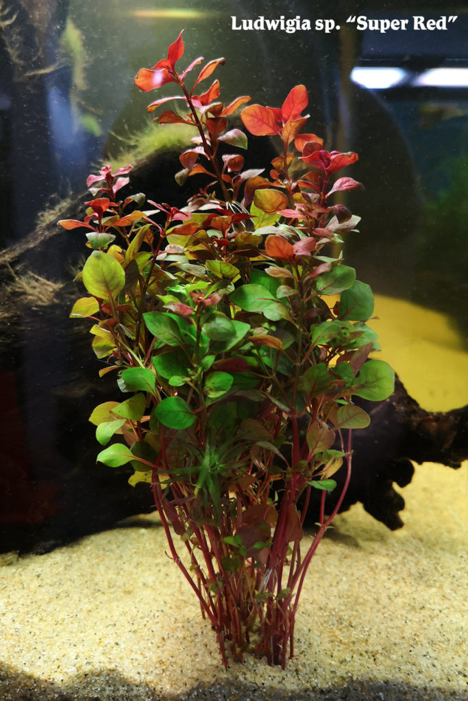 "Ludwigia sp. ""Super Red"""