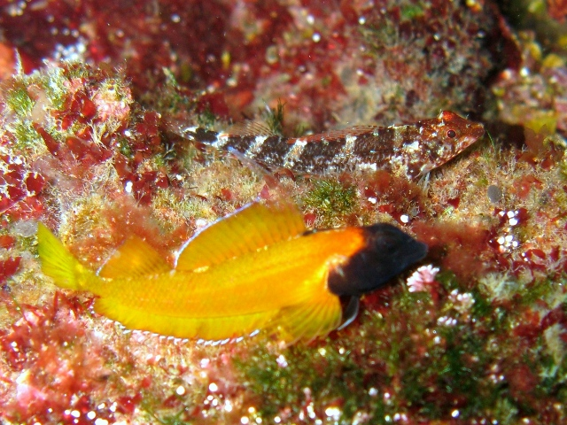 The bright yellow and black of this male Black-faced Blenny, Tripterygion delaisi, completely overshadows the cryptically-colored female behind it! Image credit: Roberto Pillon, CC BY 3.0