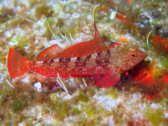 Our latest mystery fish is the Red-Black Triplefin Blenny, Tripterygion tripteronotum, photographed in Rab, Croatia by Roberto Pillon, CC BY 3.0