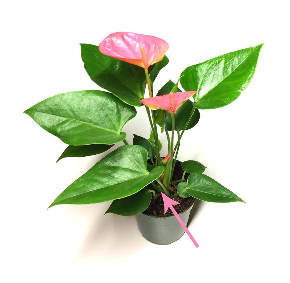 Tulip Anthurium in 4-inch nursery pot.