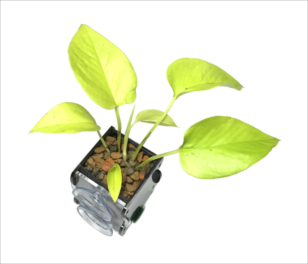 The lime green cultivated version of Pothos Vine (<em>Epipremnum aureum</em> 'Neon') in a riparium planter (Riparium Supply). Pothos Vine is among other tropical aroids that might grow best with extra water diffusion and more oxygen around the roots, so the planter was filled with a coarse expanded shale gravel.