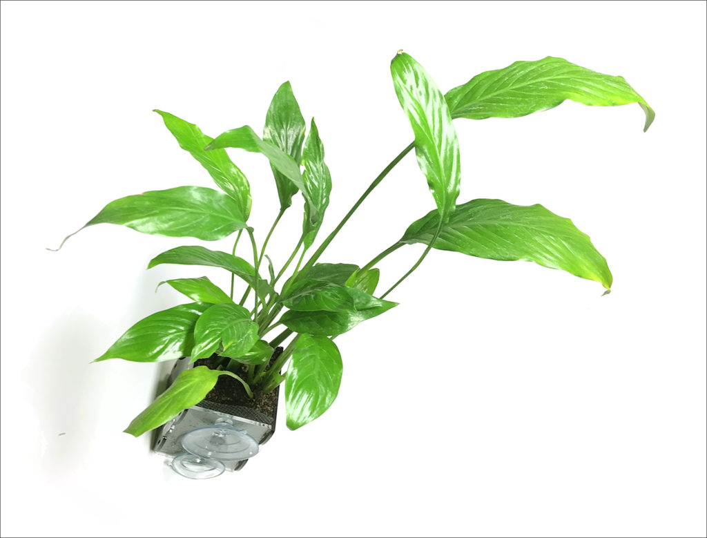 Spathiphyllum Peace Lily in riparium planter (Riparium Supply).