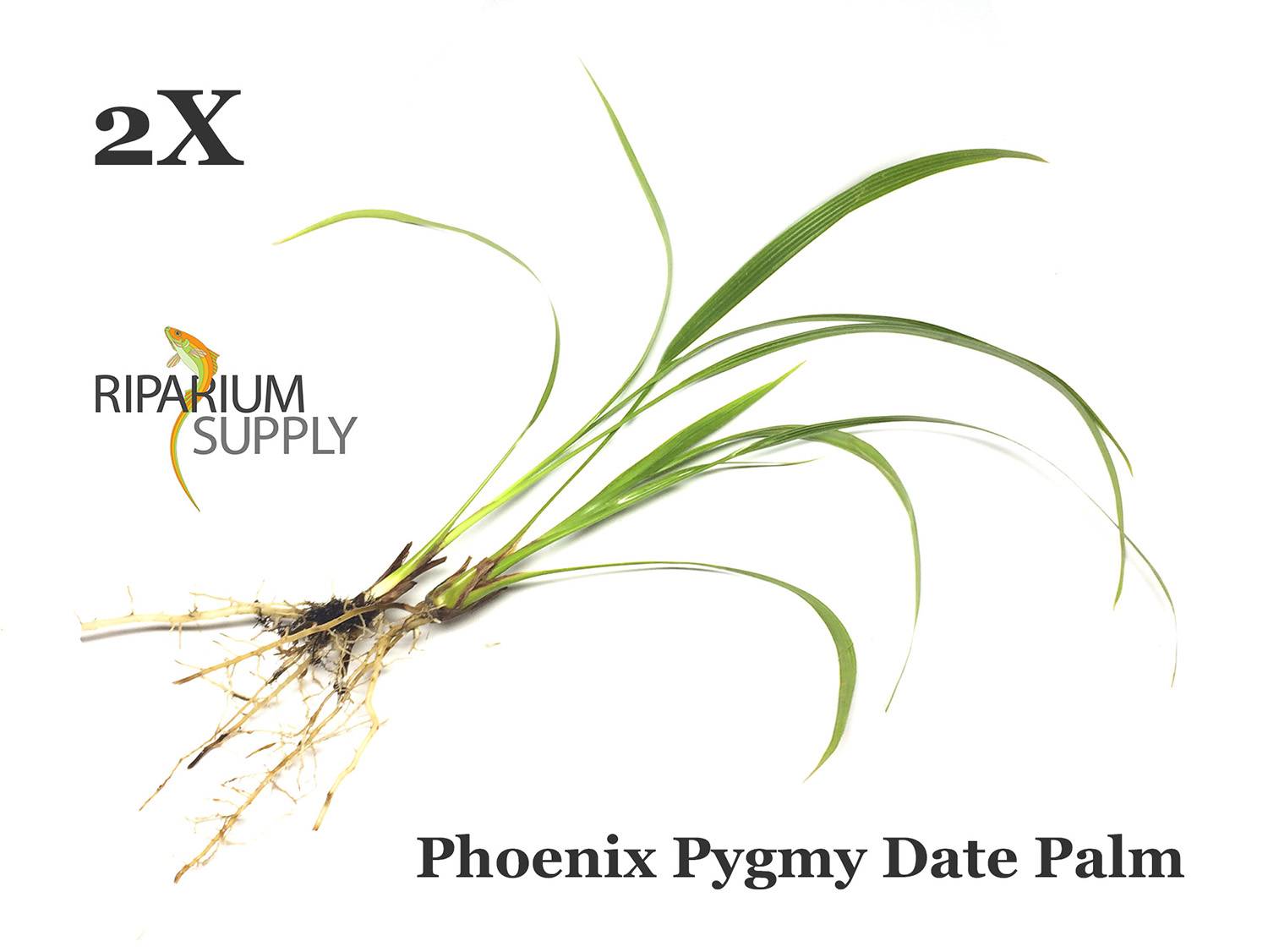 Phoenix Pygmy Date Palm catalog listing by Riparium Supply.