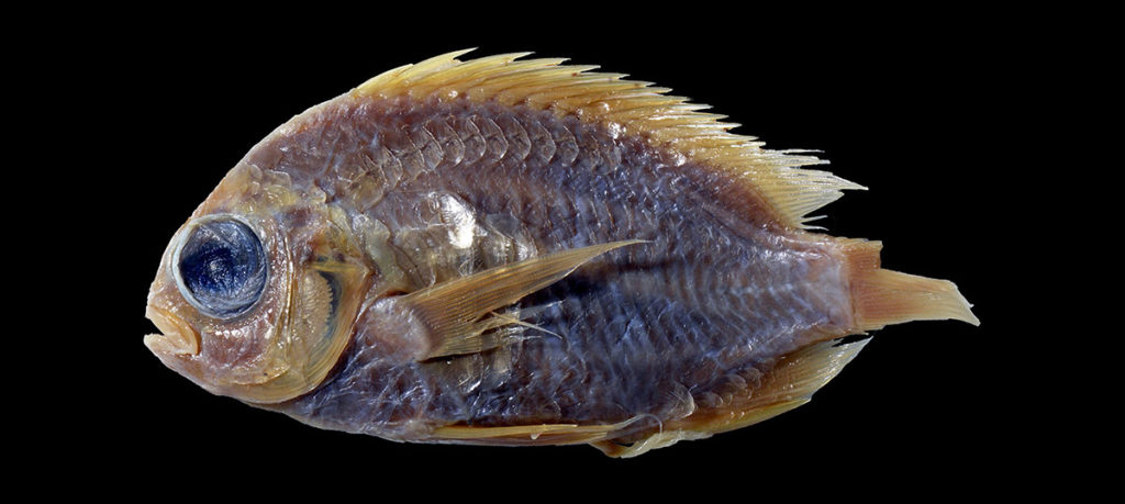What was lost can be found: the century old holotype of Chromis mirationis. Photo by H. Senou.
