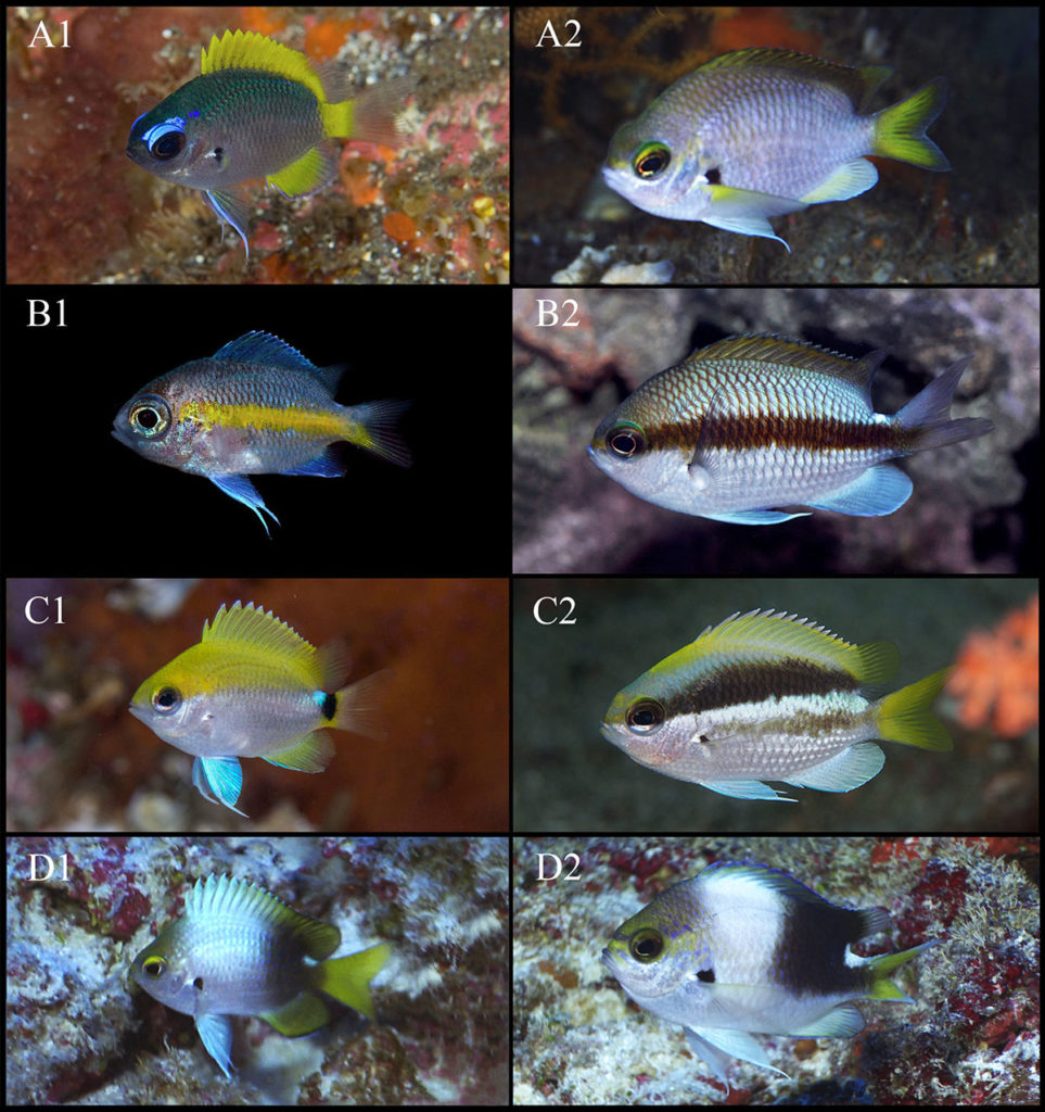 From the paper: Chromis tingting and allied species, here's how you tell them apart as a hobbyist! Juveniles and adults of selected Chromis species: A1: Chromis tingting sp. nov., juvenile, Hachijo-Jima, Japan (Photo by Kiss2Sea); A2: Chromis tingting sp. nov., adult, Izu Oceanic Park, Japan (Photo by W. Takase); B1: Chromis mirationis, juvenile, aquarium specimen from Okinawa (Photo by Y.K. Tea); B2: Chromis mirationis, adult, aquarium specimen from Izu peninsular (Photo by Y.K. Tea); C1: Chromis okamurai, juvenile, Kashiwajima, Japan (Photo by K. Nakajima); C2: Chromis okamurai, adult, Kashiwajima, Japan (Photo by K. Nakajima); D1: Chromis struhsakeri, juvenile, Midway Atoll (Photo by R. Whitton); D2: Chromis struhsakeri, adult, Midway Atoll (Photo by R. Whitton).