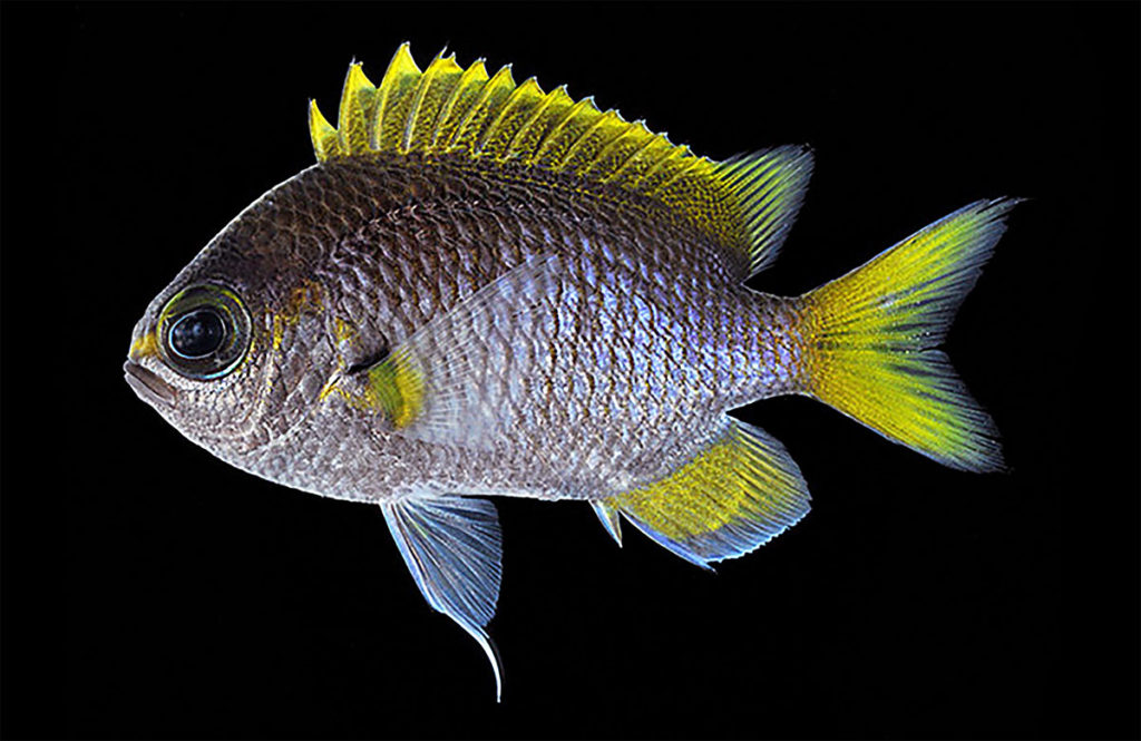 One more look at Ting-Ting's Chromis, aka. the Moonstone Chromis or Gekko-suzumedai in Japanese. Photo by H. Senou.