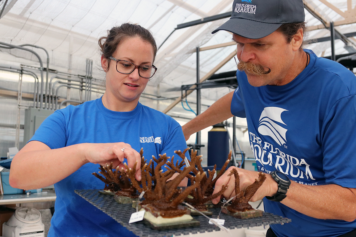 Acropora cervicornus, the endangered Staghorn Coral, is the focus of ongoing restoration efforts in Florida and throughout the Caribbean. Image credit: Florida Aquarium.