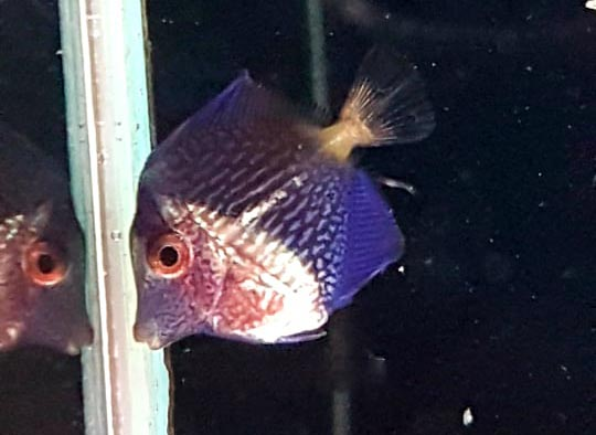 Already vibrant, this captive-bred Purple Tang is another feather in the cap for Wen-Ping Su and Bali Aquarich.