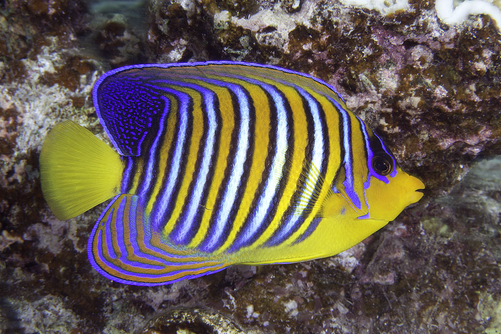 A subadult Red Sea Regal Angelfish, Pygoplites diacanthus, photographed at Marsa Alam, Egypt, by Flickr user zsispeo; CC BY-SA 2.0