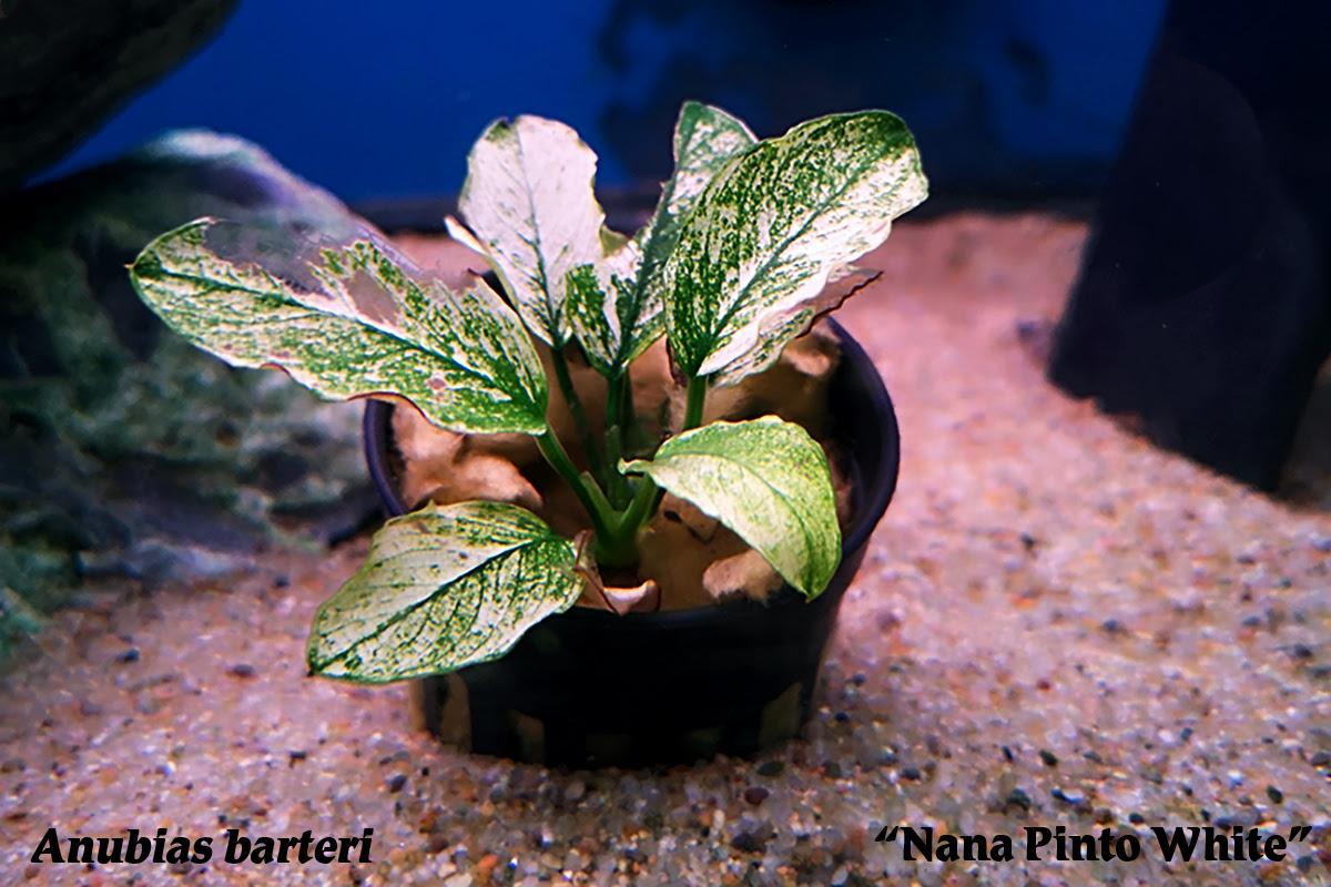 Plant Spotlight Anubias Barteri Nana Pinto White