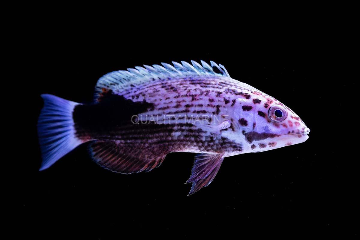 Hogfish are typically large, active, personable wrasses ideally suited to large fish-only aquariums. This already attractively patterned juvenile of the rarely seen Bodianus busellatus will blossom into a striking adult. Image credit: Nick Neumann at Quality Marine