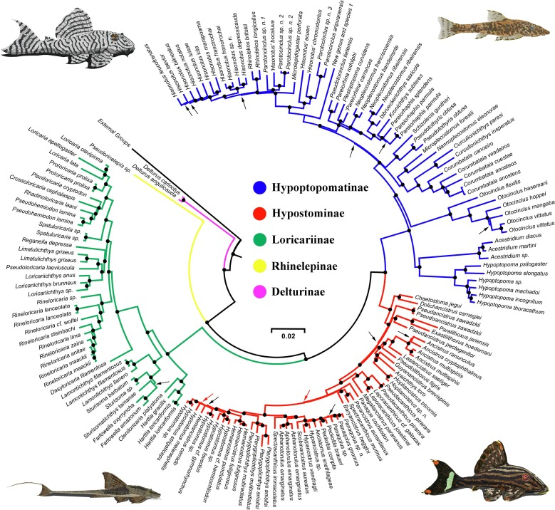 Phylogeny of catfish family Loricariidae with colored subfamilies and species listed along the outside. Illustrations by Mitsuhiro Iwamoto.