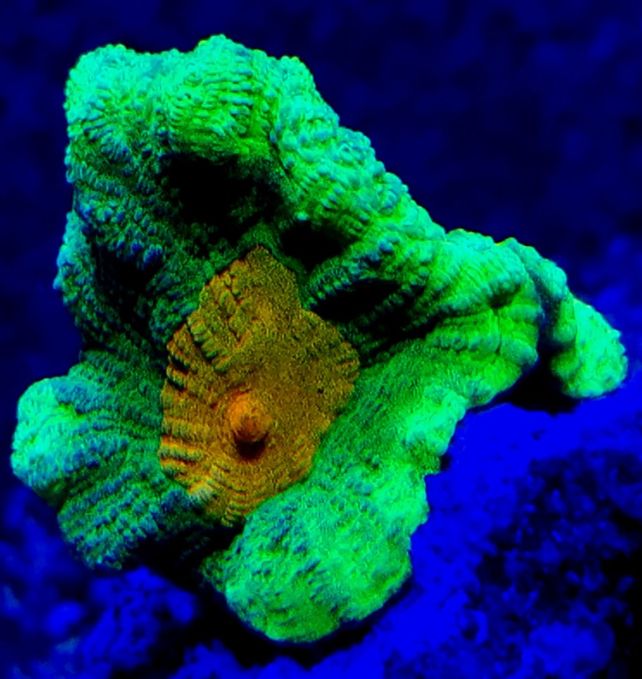 Pectinia alcicornis, a vibrant coral that's accessible to reefkeepers of all skill levels and budgets.