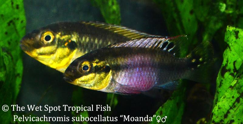 Pelvicachromis-subocellatus-Moanda-The-Wet_Spot
