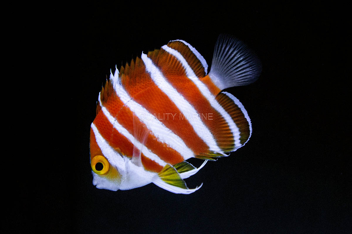 Another look at the rarely encountered Peppermint Angelfish, so coveted in fact that if you have to ask how much, you probably can't afford it! Image credit: Nick Neumann at Quality Marine