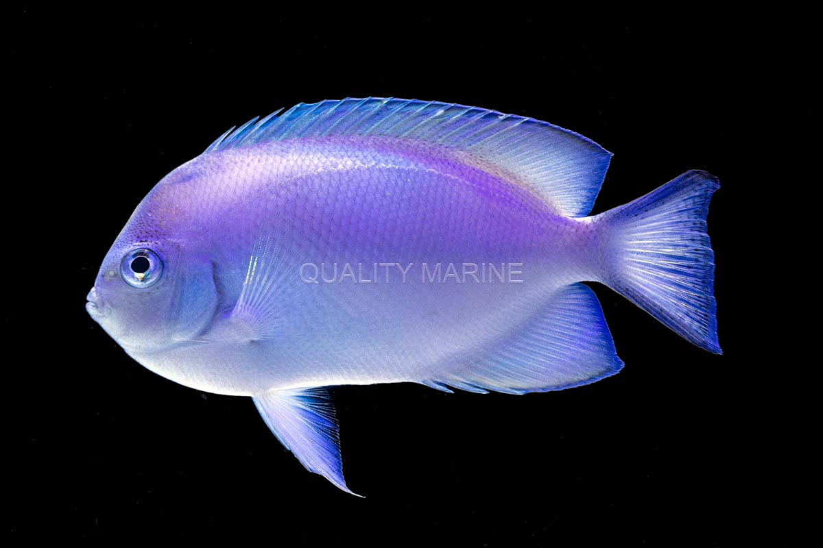 Possible the first ever in the trade, a female representative of the Pitcairn Angelfish, Genicanthus spinus, currently graces the tanks at Quality Marine. Image credit: Nick Neumann at Quality Marine