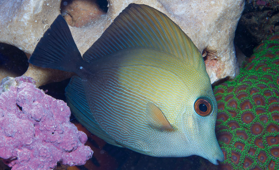 Zebrasoma scopas, sometimes called the Brown Tang, in normal coloration. Image credit: Dr. Dieter Brockmann