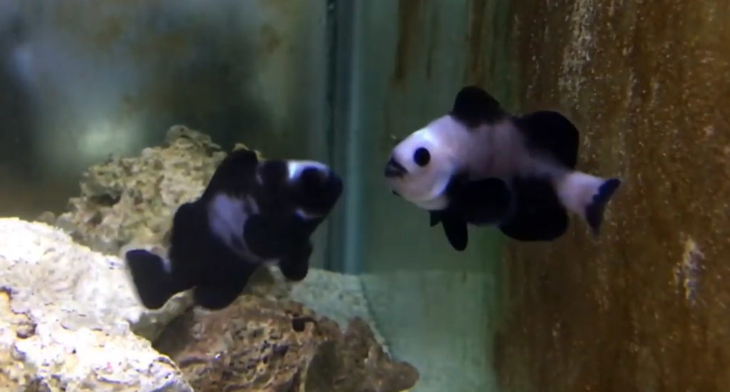 "A very strange pair of abberant Black Ocellaris-type clownfish are shown in a video as ""Zombie"" Clownfish. Video still, from Lunar Aquatics."