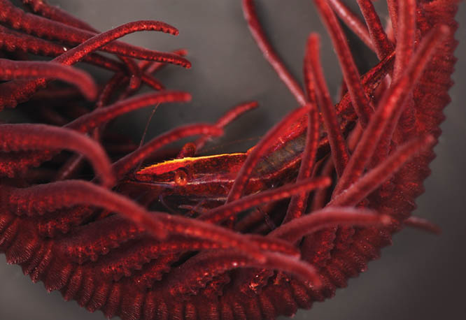 A gold blaze on the rostrum is the only giveaway revealing the presence of the maroon Cristimenes brucei hiding among the arms of a similarly-colored feather star.