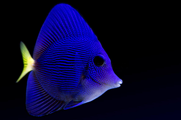 One of the first crop of Bali-bred aquacultured Purple Tangs to arrived at Quality Marine in Los Angeles.