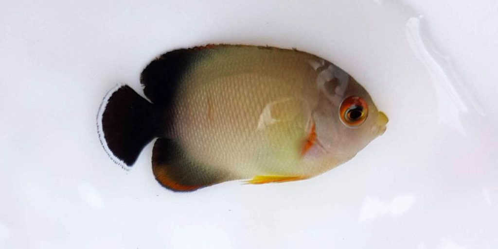 Time to earn its stripes; a new juvenile Eibli Angelfish is just starting to show the hallmark orange vertical stripes of an adult.