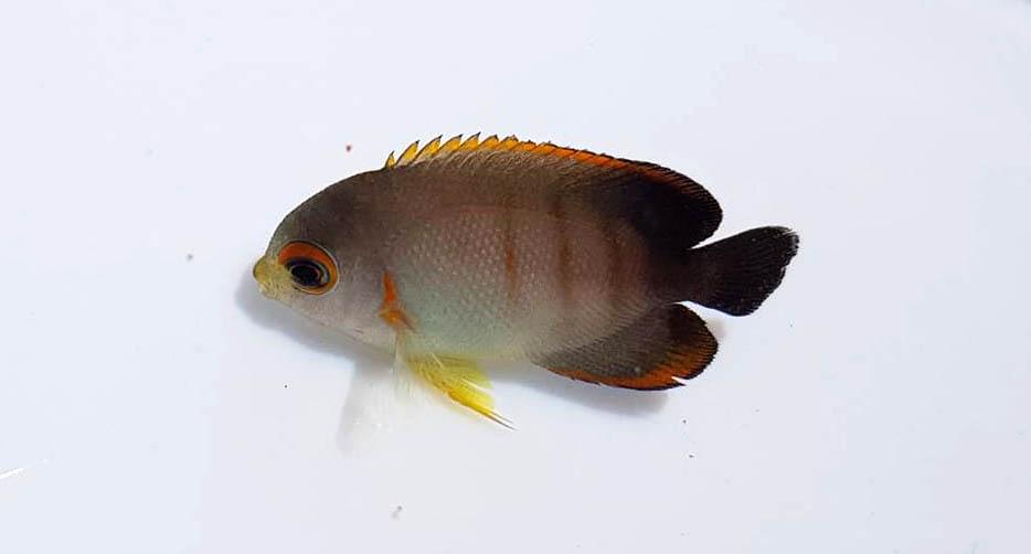 An adorably tiny captive-bred Centropyge eibli produced by Bali Aquarich.