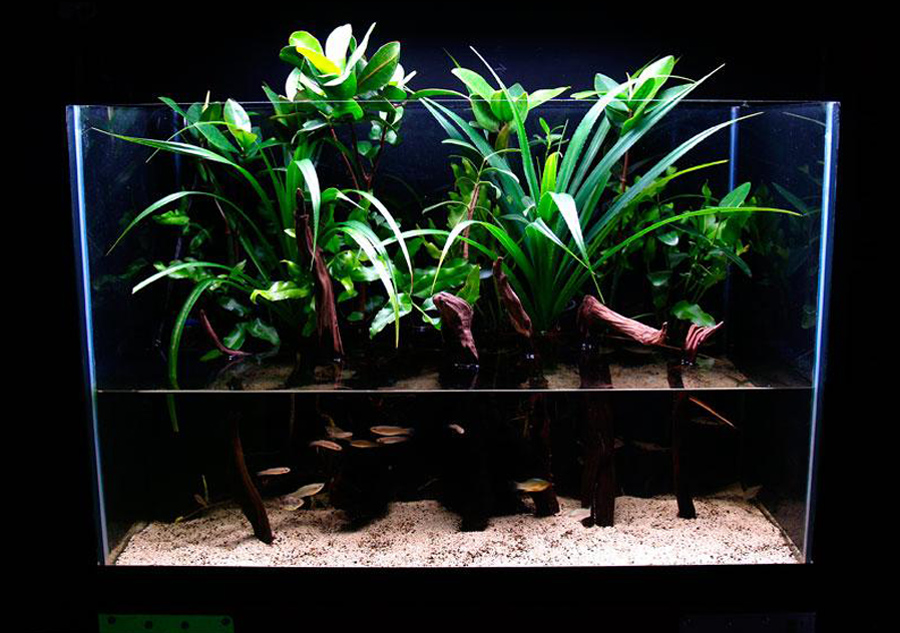 Mangrove riparium planting in 65-gallon (246-liter) glass tank.