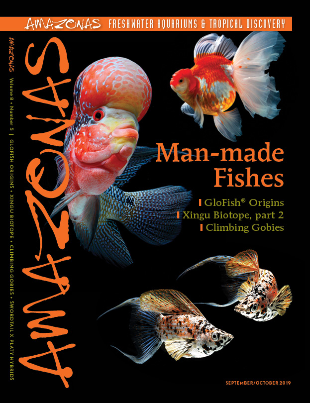 AMAZONAS Magazine, Volume 8, Number 5, MAN-MADE FISHES, on sale August 6th, 2019 ! On the cover: Left: Flowerhorn Cichlid. Upper right: Oranda Goldfish (Carassius auratus), Lower right: Crescent-tailed Molly (Poecilia sp.).